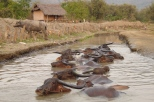 Waterbuffalos having a cool down