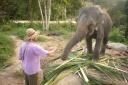 Elephant feeding on Koh Pangan