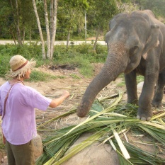 Elephant feeding on Koh Pangan