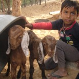 Boy protecting his goats