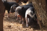 Arambol piggies