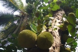 Durian in Goa