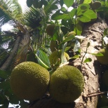 Durian in Goa